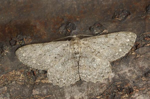 Aschgrauer Rindenspanner (Hypomecis punctinalis) / ch110820