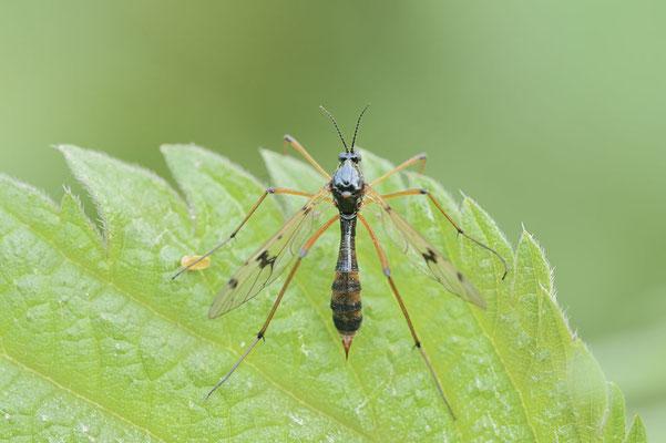 Faltenmücke (Ptychoptera contaminata) / ch177669