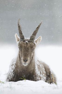 Alpensteinbock (Capra ibex) / ch135271