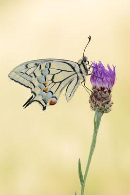 Schwalbenschwanz (Papilio machaon) / ch191079