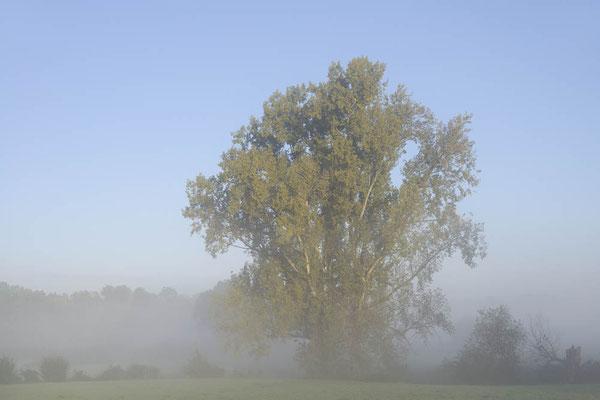Kanada-Pappel (Populus x canadensis, Populus x euramericana) im Morgennebel, Nordrhein-Westfalen / ch175876