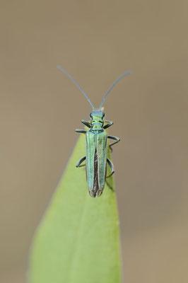Grüner Scheinbockkäfer oder Blaugrüner Schenkelkäfer (Oedemera nobilis) / ch177646