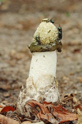 Gemeine Stinkmorchel (Phallus impudicus), / ch022929