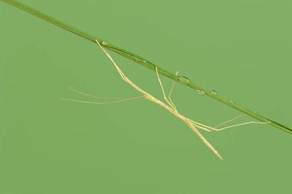 Rosa Geflügelte Stabschrecke (Sipyloidea sipylus) / ch114451