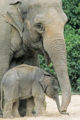Asiatischer Elefant (Elephas maximus) / chs06283