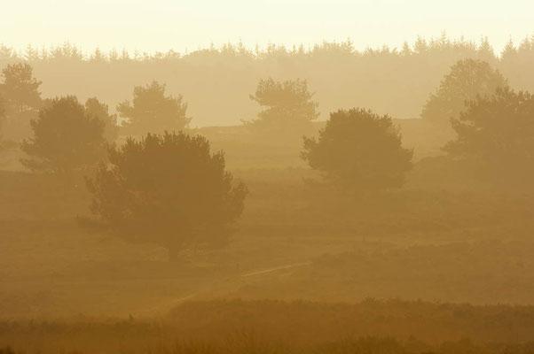 Heidelandschaft bei Sonnenaufgang, Niederlande / ch023184f