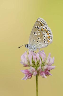 Hauhechel-Bläuling (Polyommatus icarus) / ch138486