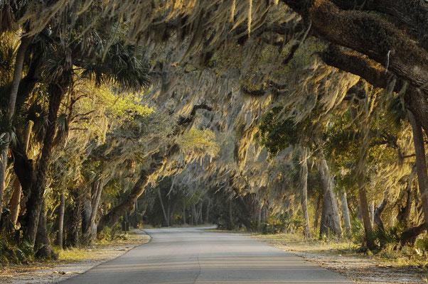 Strasse und Bäume mit Louisiana-Moos (Tillandsia usneoides) / ch023444
