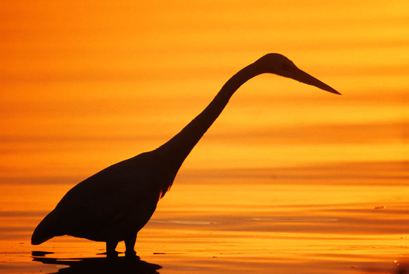 Kanadareiher bei Sonnenaufgang (Ardea herodias) / chs04922