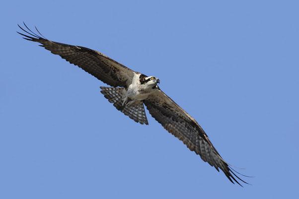 Fischadler (Pandion haliaetus) / ch066778
