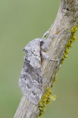 Buchen-Streckfuß (Calliteara pudibunda) / ch146682