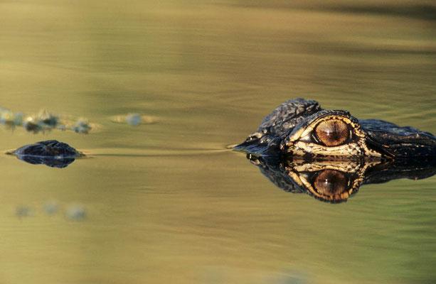 Mississippi-Alligator (Alligator mississippiensis) / chs02752