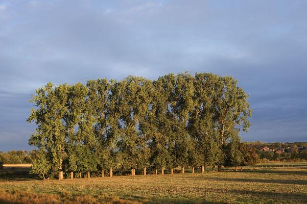 Kanada-Pappeln (Populus x canadensis, Populus x euramericana) im Herbst, Nordrhein-Westfalen / ch181382