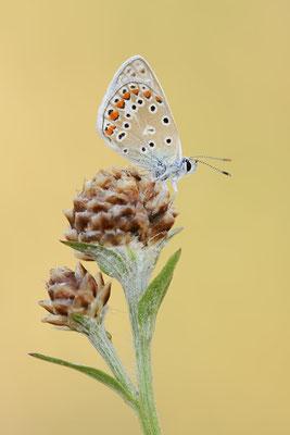 Kleiner Esparsetten-Bläuling (Polyommatus thersites) / ch190825