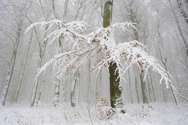 Rotbuchen (Fagus sylvatica) im Winter, Nordrhein-Westfalen / ch103802