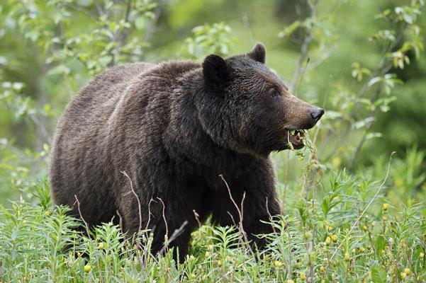 Grizzly-Bär (Ursus arctos horribilis) / ch163393