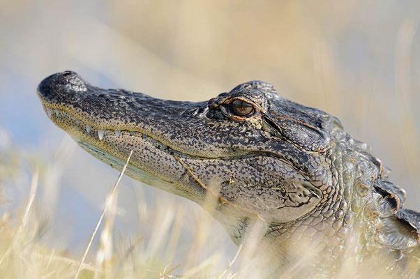 Mississippi-Alligator (Alligator mississippiensis) / ch063706