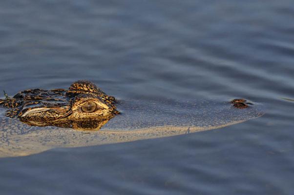 Mississippi-Alligator (Alligator mississippiensis) / ch063715