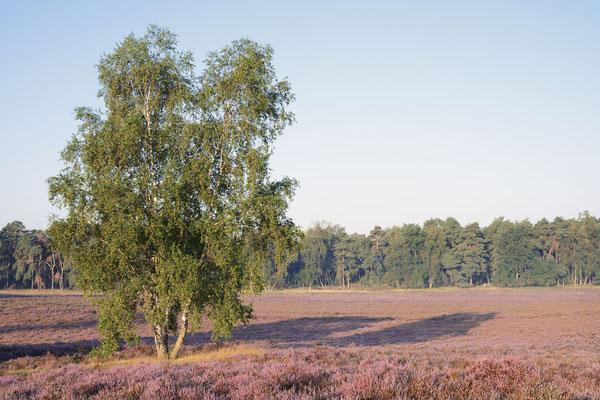 Birken in blühender Heidelandschaft / ch191327