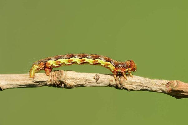 Großer Frostspanner (Erannis defoliaria) / ch088862
