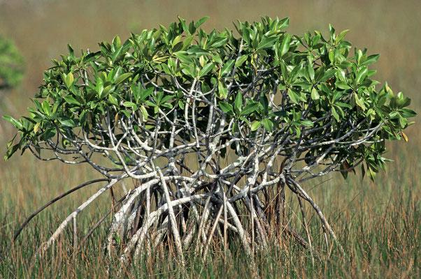 Rote Mangrove (Rhizophora mangle) / chs04975