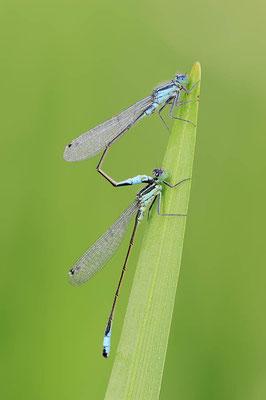 Große Pechlibelle (Ischnura elegans) / ch089286