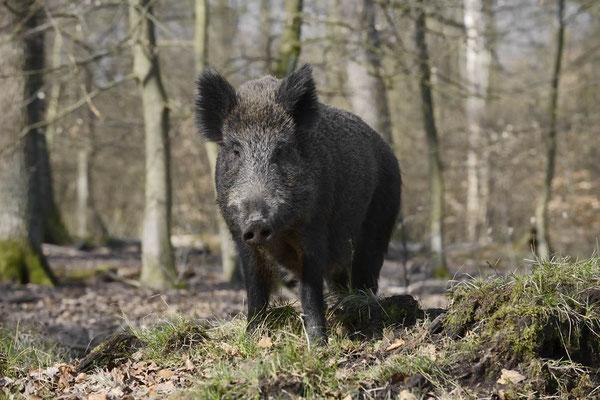 Europäisches Wildschwein (Sus scrofa scrofa) / ch142036