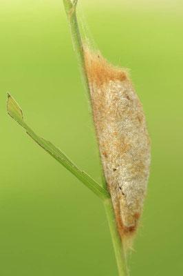 Grasglucke (Euthrix potatoria) / ch088898