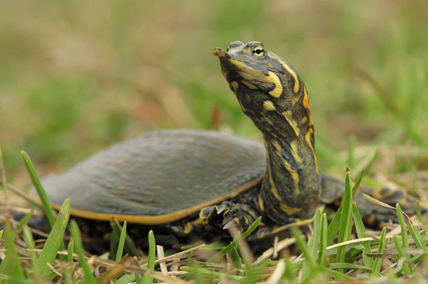 Florida-Weichschildkröte (Apalone ferox, Trionyx ferox) / ch024015
