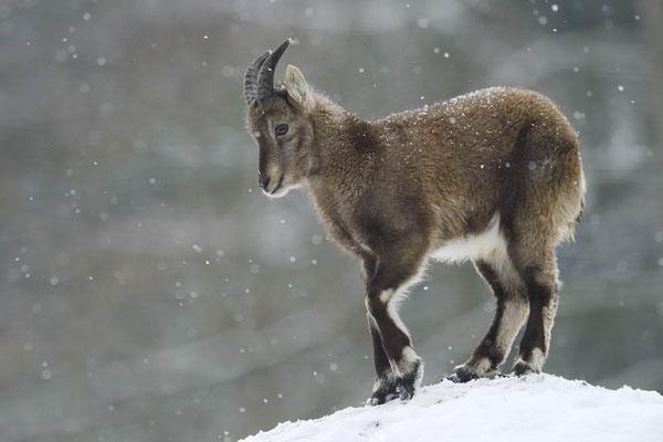 Alpensteinbock (Capra ibex) / ch135261