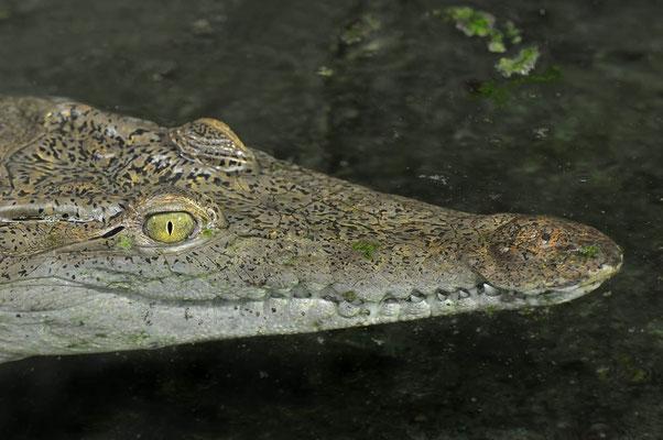 Philippinen-Krokodil (Crocodylus mindorensis) / ch113670