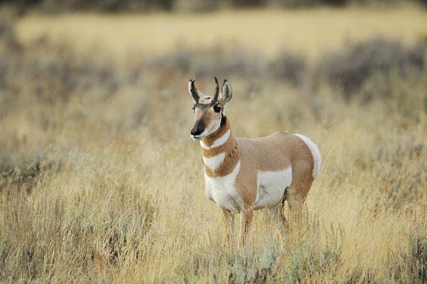 Gabelbock (Antilocapra americana) / ch057404