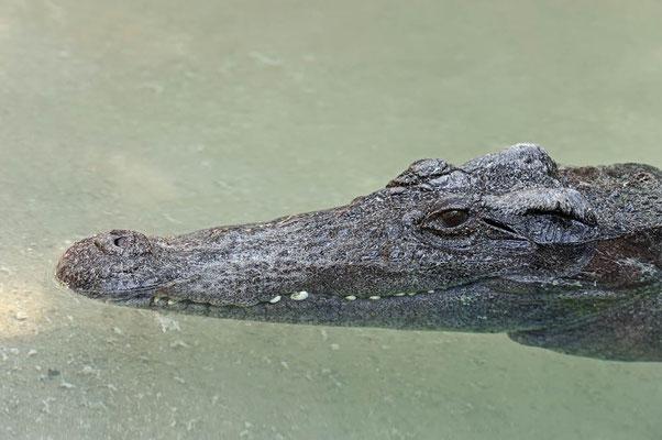 Siam-Krokodil (Crocodylus siamensis) / ch070170