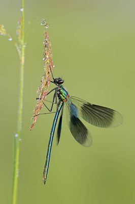 Gebänderte Prachtlibelle (Calopteryx splendens) / ch089116