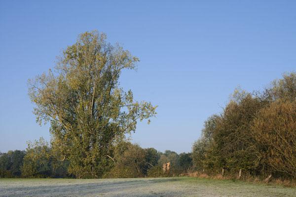 Kanada-Pappel (Populus x canadensis, Populus x euramericana) im Herbst, Nordrhein-Westfalen / ch192142