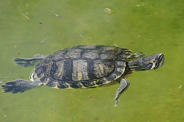 Gelbwangen-Schmuckschildkröte (Trachemys scripta scripta) / ch070265