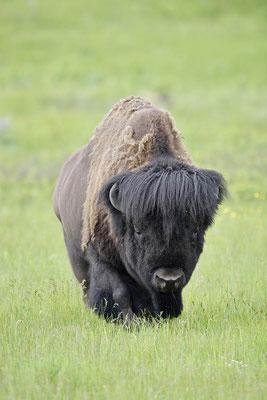 Amerikanischer Bison (Bison bison) / ch160085