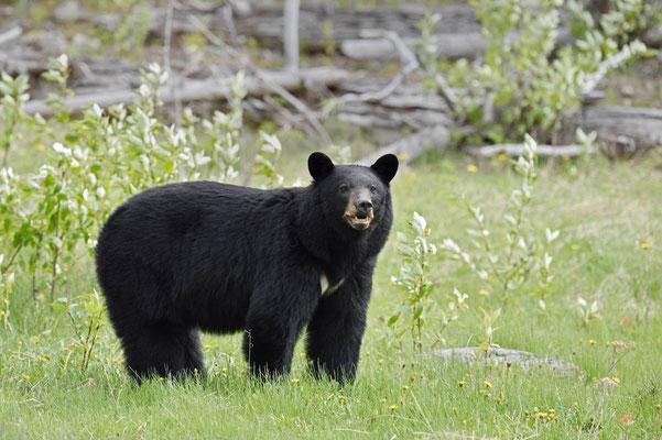 Amerikanischer Schwarzbär (Ursus americanus) / ch163202