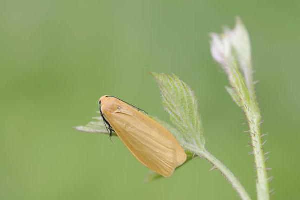 Dottergelbes Flechtenbärchen (Eilema sororcula) / ch144659