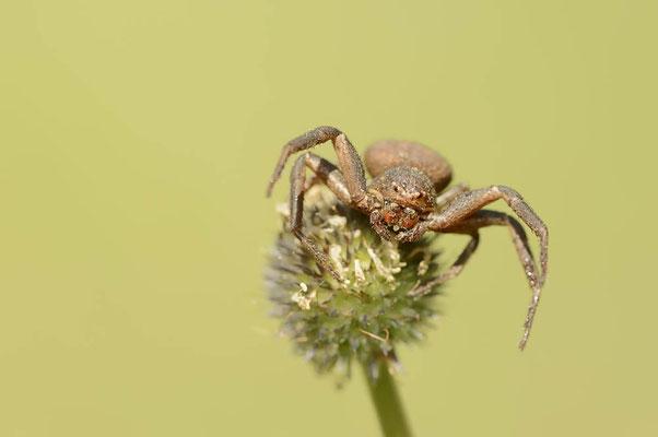 Krabbenspinne (Xysticus spec.) / ch109139