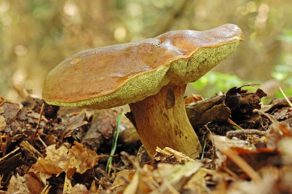 Sommersteinpilz (Boletus reticulatus) / ch044293
