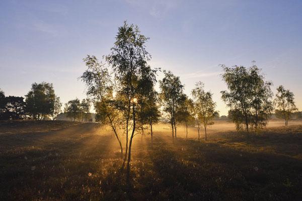 Birken in Heidelandschaft bei Sonnenaufgang / ch174278