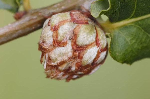 Eichenrosengallwespe (Andricus foecundatrix) / ch010841