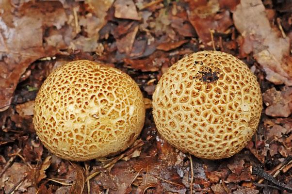 Dickschaliger Kartoffelbovist (Scleroderma citrinum) / ch044175