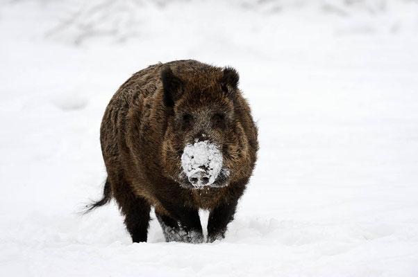 Europäisches Wildschwein (Sus scrofa scrofa) / ch104559