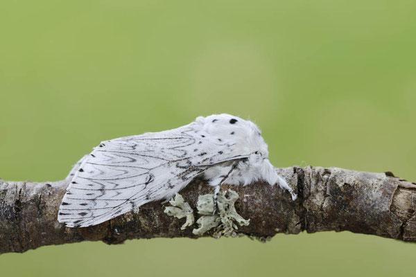 Weißer Gabelschwanz (Cerura erminea) / ch146725