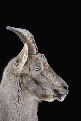 Alpensteinbock (Capra ibex) / ch104471
