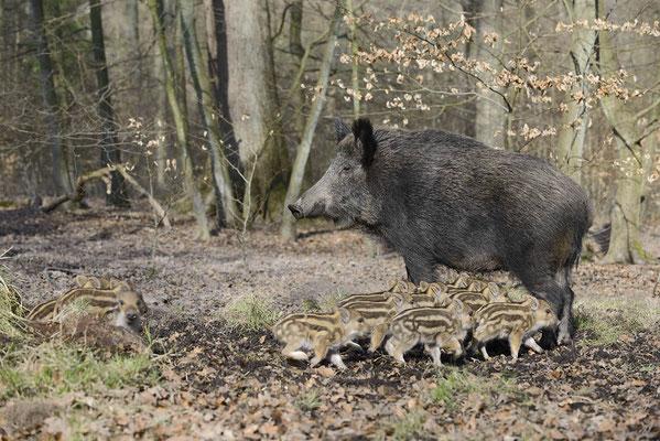 Europäisches Wildschwein (Sus scrofa scrofa) / ch142023