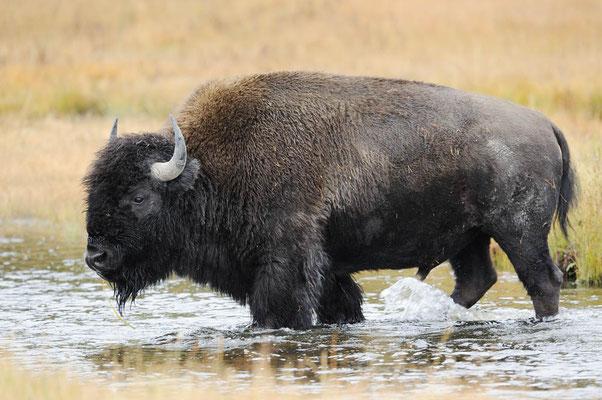 Amerikanischer Bison (Bos bison, Bison bison) / ch057549