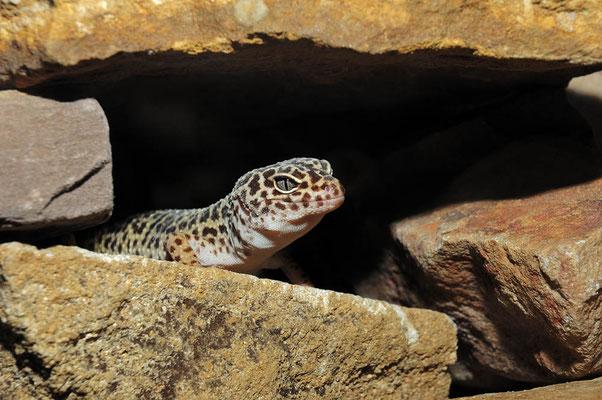 Leopardgecko (Eublepharis macularius) / ch031663